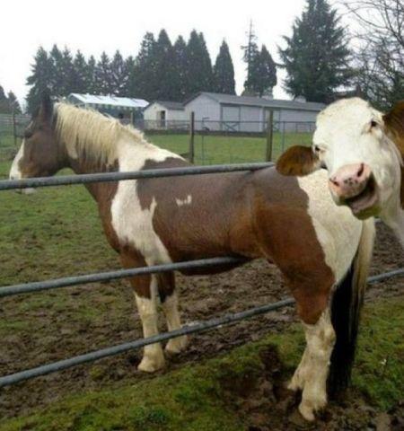 Cow Photobomb