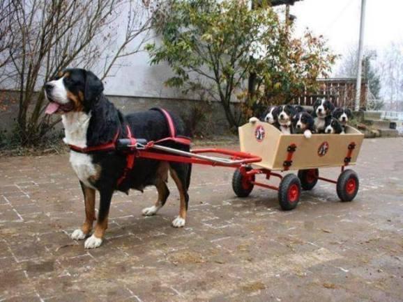 Cart Pool Dogs