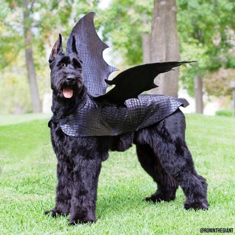 Ronin, the Doggy Dragon (Image via Ronin the Giant)