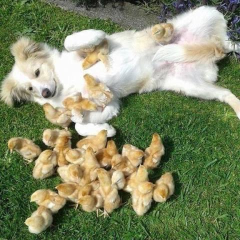 Chick-Magnet Dog
