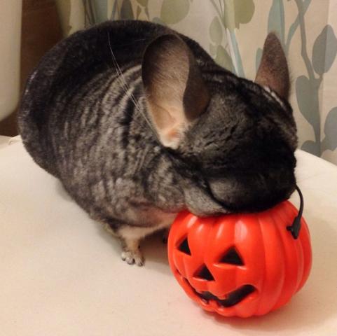 Halloween Chinchilla (Image via BuzzFeed)