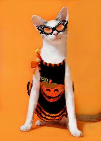 Halloween Cheerleader Cat (Image via Catster)