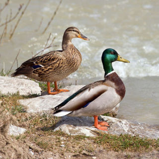 Female (left) and male mallards: image via wikipedia.org