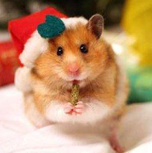 Taste-Testing Hamster