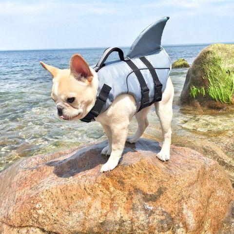 French Shark Dog