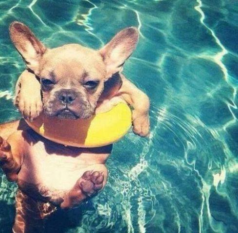 Floating Frenchie