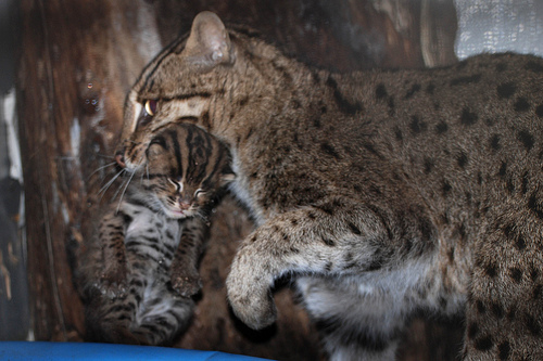 Mama fishing cat with her kittens: Photo credit: Courtney Janney, Smithsonian's National Zoo