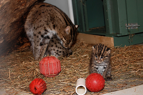 Fishing cat plays with her kittens: Photo credit: Courtney Janney, Smithsonian's National Zoo