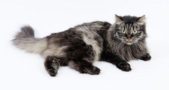 Siberian Cat: image via wikipedia.org