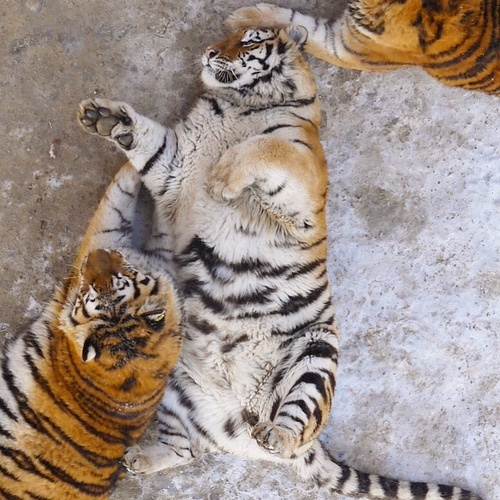 Chinese Zoos Overfed Tigers Are The Ultimate Fat Cats Petsladycom