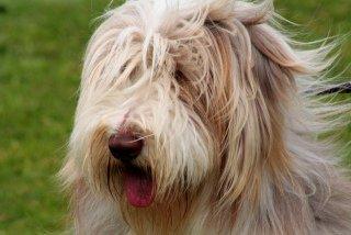 A Shaggy Dog: Image by Foxypar4, Flickr