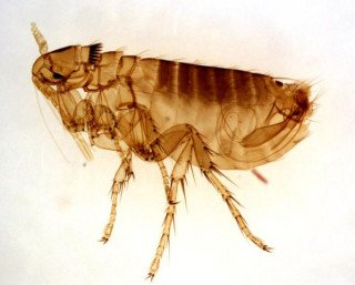 Adult Male Oropsylla Montana Flea: Image by Kat M Research, Flickr
