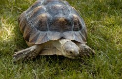 African Spurred Tortoise: image via wikipedia.com