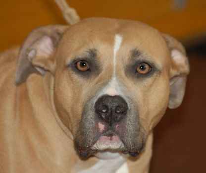 American Staffordshire Terrier (Photo by Lilly M/Creative Commons via Wikimedia)