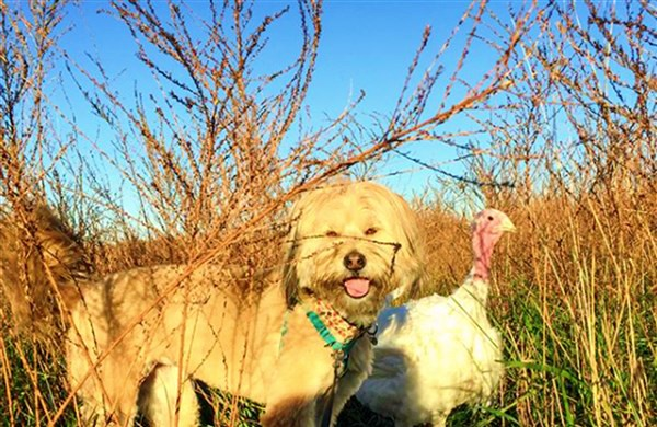 rescue turkey spends thanksgiving with dog