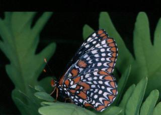 Baltimore Checkerspots have disappeared from Ward Pound Ridge Reservation