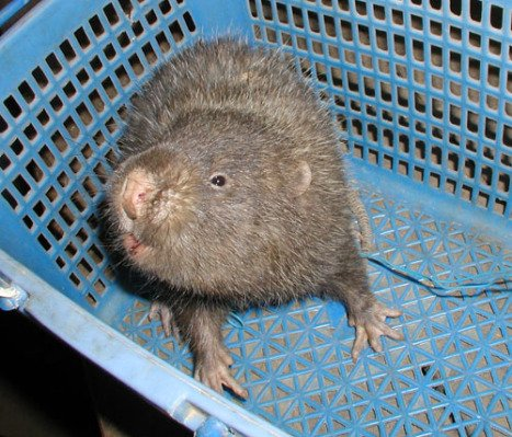 Lesser Bamboo Rat at Market (Photo by Roadnottaken/Creative Commons via Wikimedia)
