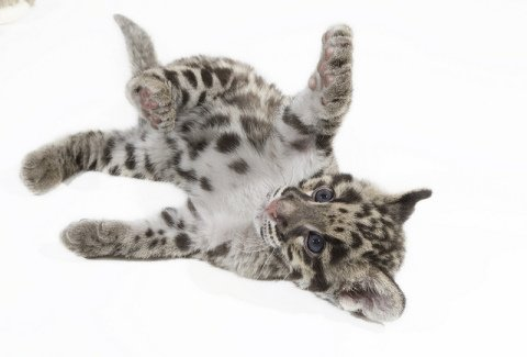 Clouded Leopard Cub (Photo by Smithsonian's National Zoo /Creative Commons via Flickr)
