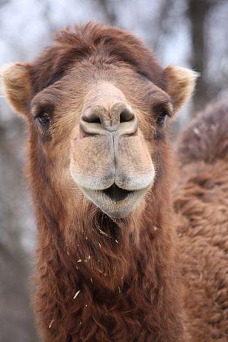 Camel (Photo by Ltshears/Creative Commons via Wikimedia)