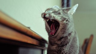 Cat Yawn: Image by Sergio Vassio, Flickr