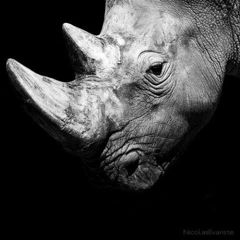 Ceratotherium simum by Evariste: Rhino portrait by Nicholas Evariste