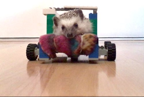 Chappi the African pygmy hedgehog