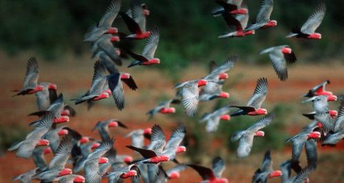 Flock of Galah Cockatoos