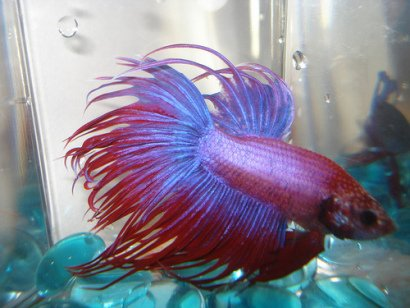 Red and Blue Crowntail Betta (Photo by Stephie189/Creative Commons via Flickr)