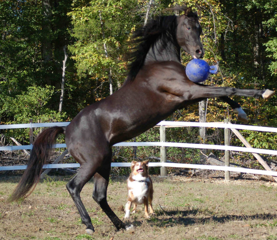 Horse playing with Jolly Ball Horse Toy: photo of 'Sammy' by Karen Aneiro of EquiseaFarms.com