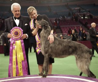 Westminster's  2011 Best In Show winner, Scottish Deerhound, 'Hickory': image via westminsterkennelclub.org