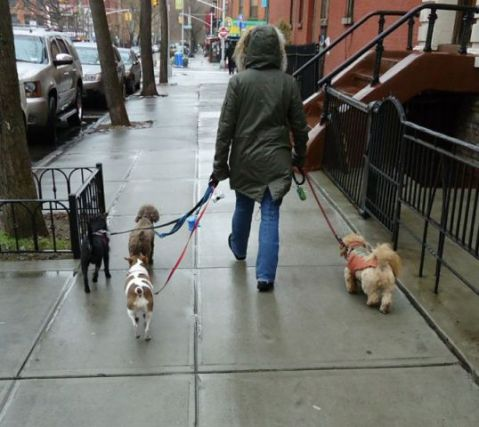 Dog Walker in Brooklyn (Photo by Tomwsulcer/Creative Commons via Wikimedia)
