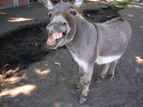 Donkey with Attitude (Photo by Yousafzian2/Creative Commons via Wikimedia)