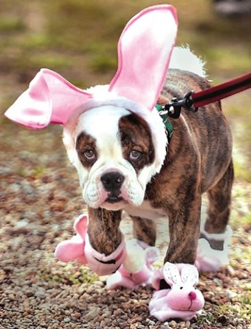 Pitbull Dressed Up As Peter Cottontail: Source: HerCampuslife.com