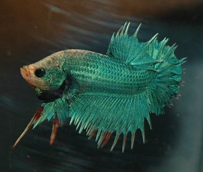 Female Green Wildform Tail Betta (Photo by Daniella Vereeken/Creative Commons via Flickr)