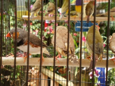 Finches: Image by Gianni, MorgueFile