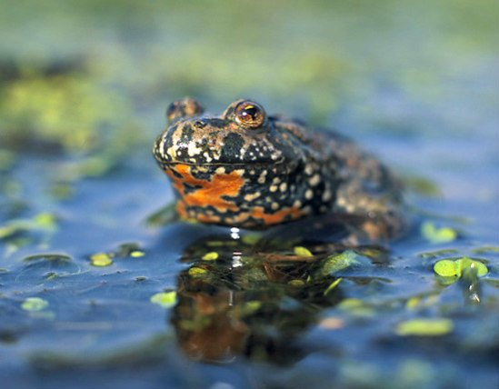 Fire-Bellied Toads Vary in Color: Bright orange toad belly (image by Marek Szczpanek CCL)