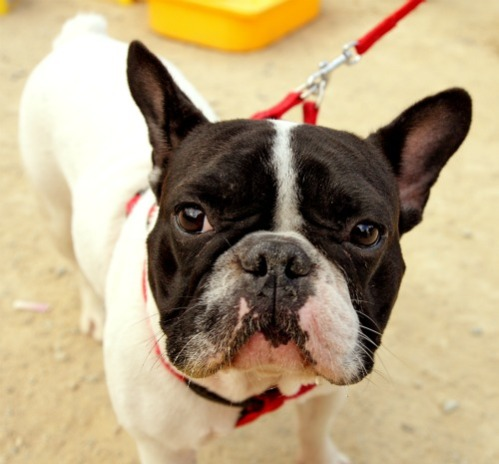 The Dog Cafe is LA's First Animal Adoption Pet Cafe: Even designer breeds like French Bulldogs are abandoned