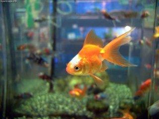 Goldfish: Image by Opencage