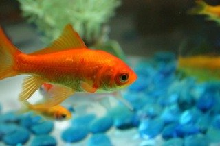 Goldfish: Image by Protographer23, Flickr