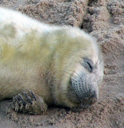 Sleeping Gray Seal Pup (Photo by Evelyn Simak/Creative Commons via Wikimedia)