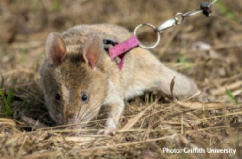 HeroRATS Saving Lives: Landmines & tuberculosis sniffed out by Giant African Pouched Rats