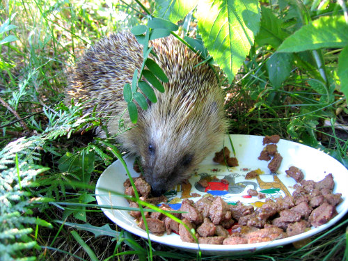 Hedgehogs As Pets: Hedgehogs need proper nutrition