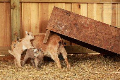 Goat Jenga!: (Photo by thebone/Creative Commons via Flickr)