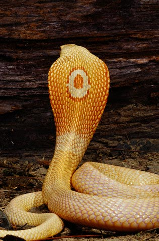 The hypnotizing 'eye' of a King Cobra: image via planetanimalzone.blogspot.com