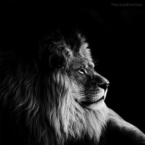 King by Evariste: The King of the Jungle looking truly regal. Lion art of Evariste