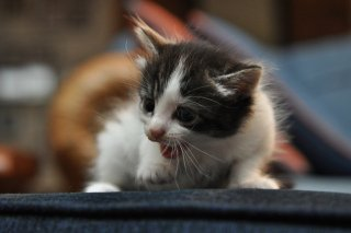 Kitten Meowing: Image by Cignus921, Flickr