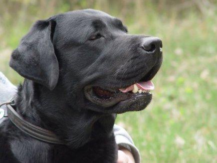 Black Labrador Retriever (Photo by Hanna Dworniczak/Creative Commons via Wikimedia)