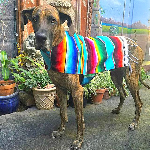 Baja Pet Ponchos Come in Large Sizes for Dogs: Baja Poncho & dog image via Baja Poncho