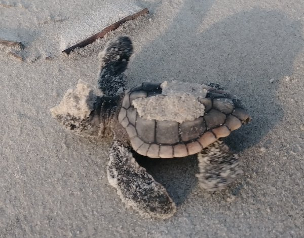 Last Hatchling to leave Hunting Island before Hurricane Irma