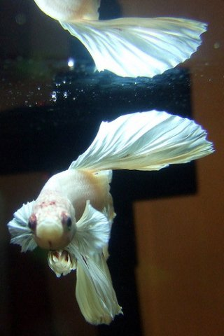 Marbled White Betta (Photo by My 365/Creative Commons via Flickr)